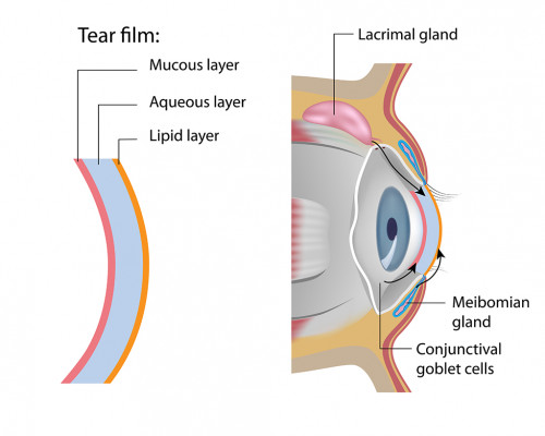 Tear Glands Spokane Eye Clinic